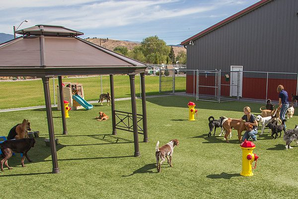 dogs playing in dog play yard at dog daycare